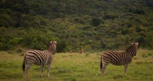 Zebra und Löwe Stockbilder