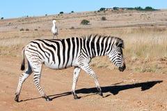 Zebra und Reiher. Stockfotografie