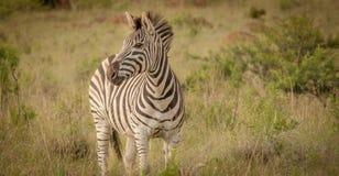 Zebra und seine Streifen im wilden Lizenzfreies Stockfoto