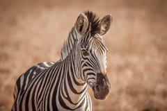 Zebra und seine Streifen im wilden Lizenzfreie Stockbilder