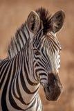 Zebra und seine Streifen im wilden Stockfoto