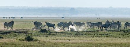 Zebra und Wildebeest, die einen Strom kreuzen Lizenzfreies Stockfoto