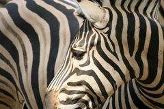 Zebra up close. Detailed image of a black and white zebra pattern royalty free stock photo