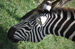 Zebra Up Close. Zebras are several species of African equids united by their distinctive black and white striped coats. Their stripes come in different patterns Royalty Free Stock Photography