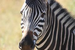 Zebra Upclose Stockfoto