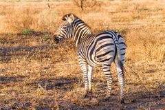 Zebra van het Nationale Park van Kruger, equusquagga royalty-vrije stock foto's