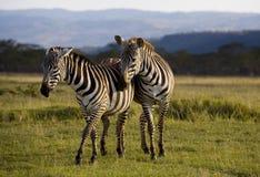 Zebra van Nakuru Stock Afbeelding