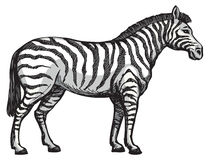 Zebra. Vector drawing Stock Images