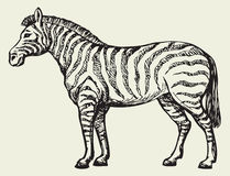 Zebra. Vector drawing. Young cute funny African equids standing in grassland savanna plain. Monochrome freehand ink drawn background sketchy in art scribble Stock Photo