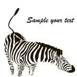 Zebra vector Stock Photography