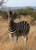 Zebra veld 1 Stock Photo