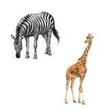Zebra verbogen hinunter das Essen des Grases Schöner Erwachsener Lizenzfreie Stockbilder