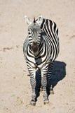 Zebra -  vertical image Stock Image