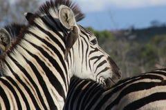 Zebra vicina su con l'uccello della zappa del bue Fotografia Stock