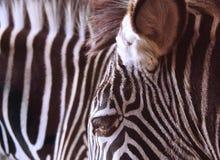 Zebra vicina su delle bande, dell'occhio e della testa fotografie stock