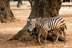 Zebra vicino ad un albero Fotografia Stock