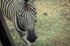 Zebra visiting the bus for visitors, Mauritius stock photography