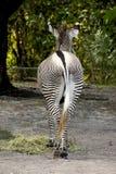 Zebra von hinten Lizenzfreie Stockfotografie