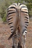 Zebra von hinten Lizenzfreie Stockfotos