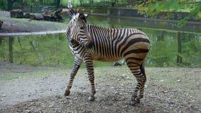 Zebra voor waterpoel die achteruit eruit zien stock afbeelding