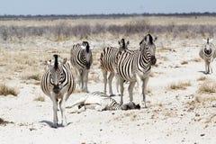 Zebra w afrykańskim krzaku Zdjęcie Royalty Free