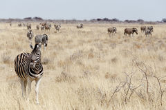 Zebra w afrykańskim krzaku Zdjęcia Royalty Free
