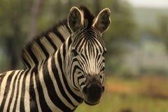 Zebra w Afryka Zdjęcie Stock