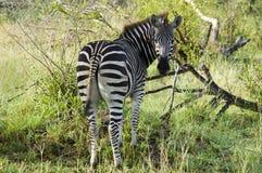 Zebra w Afryka Fotografia Stock