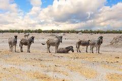Zebra w afrykańskiej sawannie Obraz Royalty Free