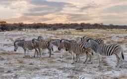 Zebra w afrykańskim krzaku Afryka safari Obrazy Stock