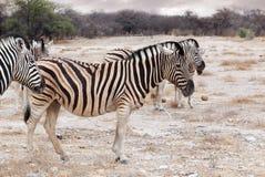 Zebra w afrykańskim krzaku Afryka safari Fotografia Royalty Free