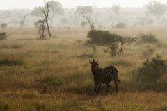 Zebra w Afrykańskim sunrising krajobrazie Fotografia Royalty Free