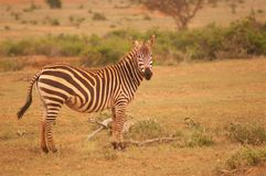 Zebra w Afryka Tsavo parku narodowym Obraz Stock