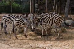 Zebra w Chiangmai nocy safari obrazy stock