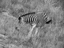 Zebra w czarny i biały fotografii Zdjęcie Stock