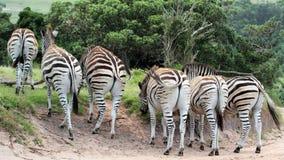 Zebra w drodze Obraz Royalty Free