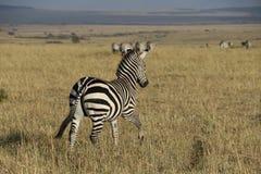 Zebra w dzikim maasai Mara obrazy stock