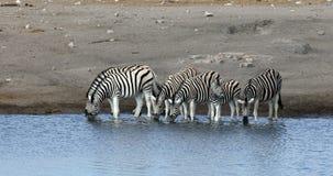 Zebra w Etosha Namibia przyrody safari zbiory