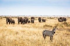 Zebra w Kenja Z Wielkim słonia stadem Obraz Stock