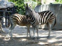 Zebra w Khao Khaeo Otwartym zoo Zdjęcie Royalty Free