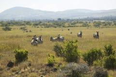 Zebra w Lewa Conservancy, Kenja, Afryka Zdjęcie Stock