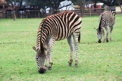 Zebra w lwa parku Zdjęcie Royalty Free