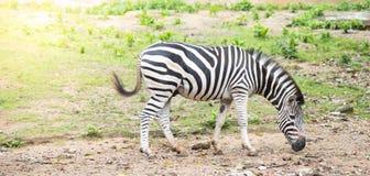 Zebra w natury tle, zwierzęca przyroda Zdjęcia Royalty Free