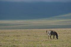 Zebra w Ngorongoro Zdjęcia Stock