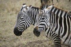 Zebra w Ngorongoro kraterze Obrazy Royalty Free