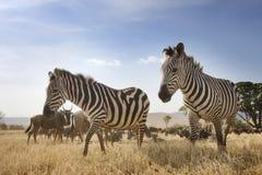 Zebra w Ngorongoro kraterze Zdjęcia Stock