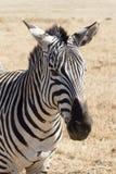 Zebra w Ngorongoro kraterze Zdjęcie Stock