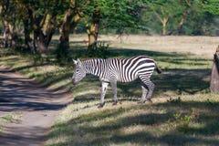 Zebra w obszarach trawiastych Fotografia Royalty Free