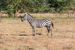 Zebra w obszarach trawiastych Obraz Stock