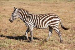 Zebra w obszarach trawiastych Zdjęcie Stock